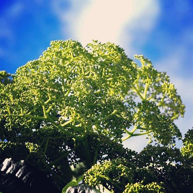 烏山椒の花が次々開花中です。しかし開花してるのは高い木のものばかりで撮影出来る木はまだ花芽の段階です。花芽の段階ではブロッコリーの様ですね!#蜂蜜#生はちみつ #純粋はちみつ #無添加はちみつ #非加熱はちみつ #ハニーセラー熟成#honey#miel#山口県産はちみつ#下関産はちみつ#rawhoney#スーパーフード