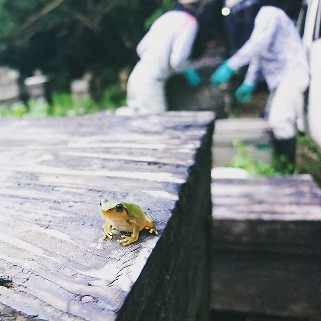訪問者#蛙 #カエル #雨蛙 #アマガエル #同居 #廣田養蜂場 #訪問者 #frog #beekeepers
