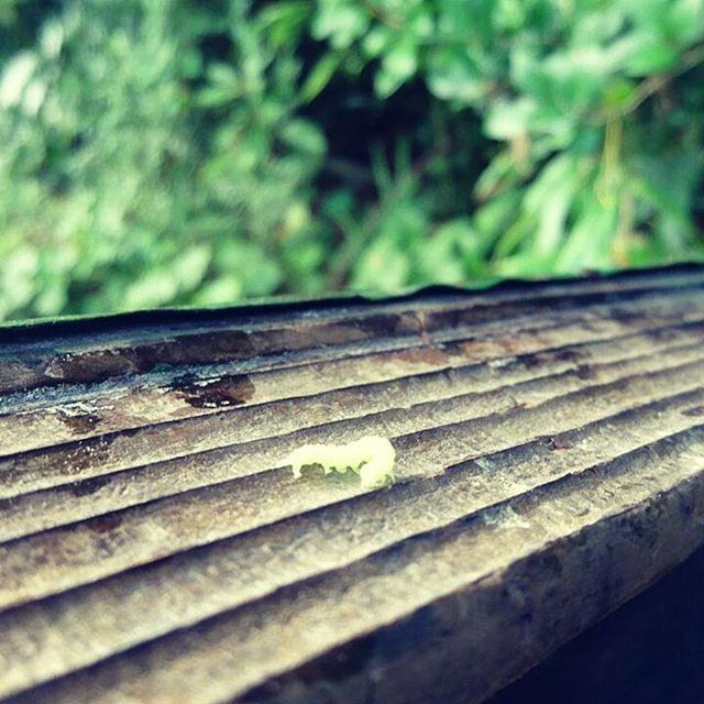 【養蜂場の生き物】養蜂場で見かけると癒される虫のひとつがこれ動く度に波打つ体が何とも可愛らしいんです