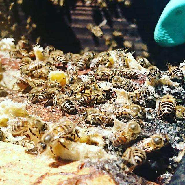【厳選百花蜜 はぜ は、12日間で完売しました】ありがとうございましたm(_廣_)m写真は欲しくてたまらない方々が中々、手に入らないと嘆く声をよく耳にする『日本みちばち』です西洋みつばちよりも少し小さく色は濃いめとても大人しく可愛らしいみつばちです毎年、養蜂場に数群飛来してくるのですが今年は、西洋みつばちの空巣を巣箱内に預けみましたすると日本みつばちの百花蜜をわずかにためてくれましたよ極少量ですが採れたので只今、ラベル作成中ですお楽しみに~ #日本みつばち #日本みつばちのハチミツ #日本みつばちの蜂蜜 #日本みつばちの蜜 #日本みつばちのはちみつ #山口県下関市 #廣田養蜂場 #廣田養蜂場 #廣田養蜂場の #japanbeer #japanbeekeeper #japanlawhoney #Japan #japan_of_insta #japan_photo_now #japanesestyle #japanesefood #japan #japan #japanlife #japanlover #japanese #japanesehoney #japanbeekeeper #lawhoneyjapan #lawhoney #law #yamaguchi #shimonosekishi_city #hirotabeefarm