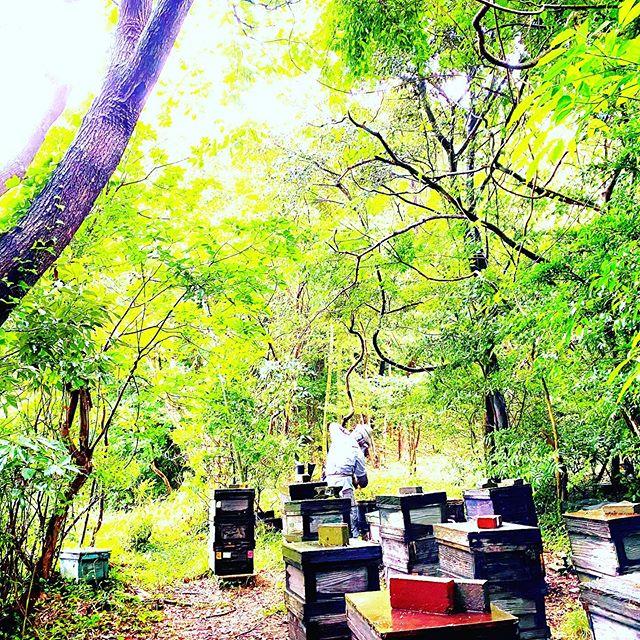 【櫨ハゼの森で採蜜をしています】さあ!今からが採蜜本番という大事な時に梅雨になりました天気予報では毎日雨が続くようですこれだけ雨がふると蜜蜂は飛んで蜜を集めることができませんそして巣の中で待機しながら自分たちが保存した採れたての生はちみつを毎日食べ続けますすると新しい蜜が入らないのに巣の中の生はちみつを食べ続けることで巣の中のはちみつはどんどん減ってしまいますそうなると採蜜もできず量も減ってしまうので私たちにまわってくるはちみつも自然に少なくなってしまうんです雨がやむ一瞬を狙って採蜜してきます#梅雨 #雨 #雨の日 #櫨 #非加熱はちみつ #廣田養蜂場 #山口県下関市 #森 #木 #自然 #beekeeper #rawhoney #raw #raw_japan #natural #tree #bee #beehoney #madeinjapan